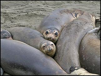 Elephant Seals, Piedras Blancas rookery
