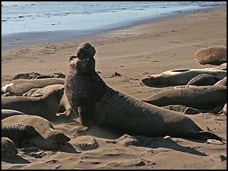 Elephant Seals, Piedras Blancas rookeryAt Clautiere Vineyard