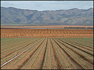 Crop Rows, Salinas Valley