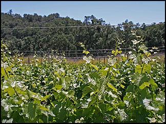 Syrah vines, Tablas Creek Vineyard