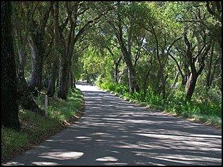 Oak Canopy, Adelaida Road